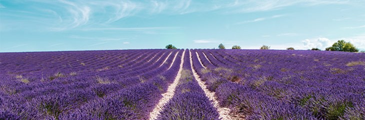 Lavender Production in Provence France